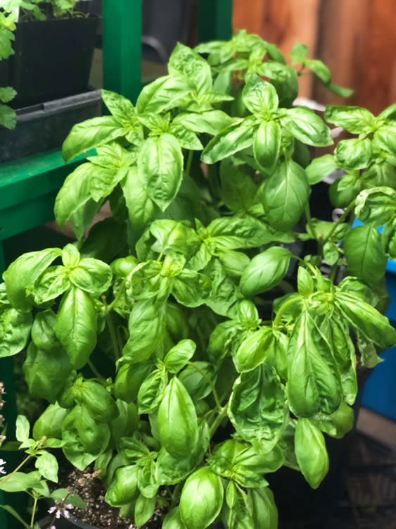 Farmers Markets - Fairbanks Alaska - Basil