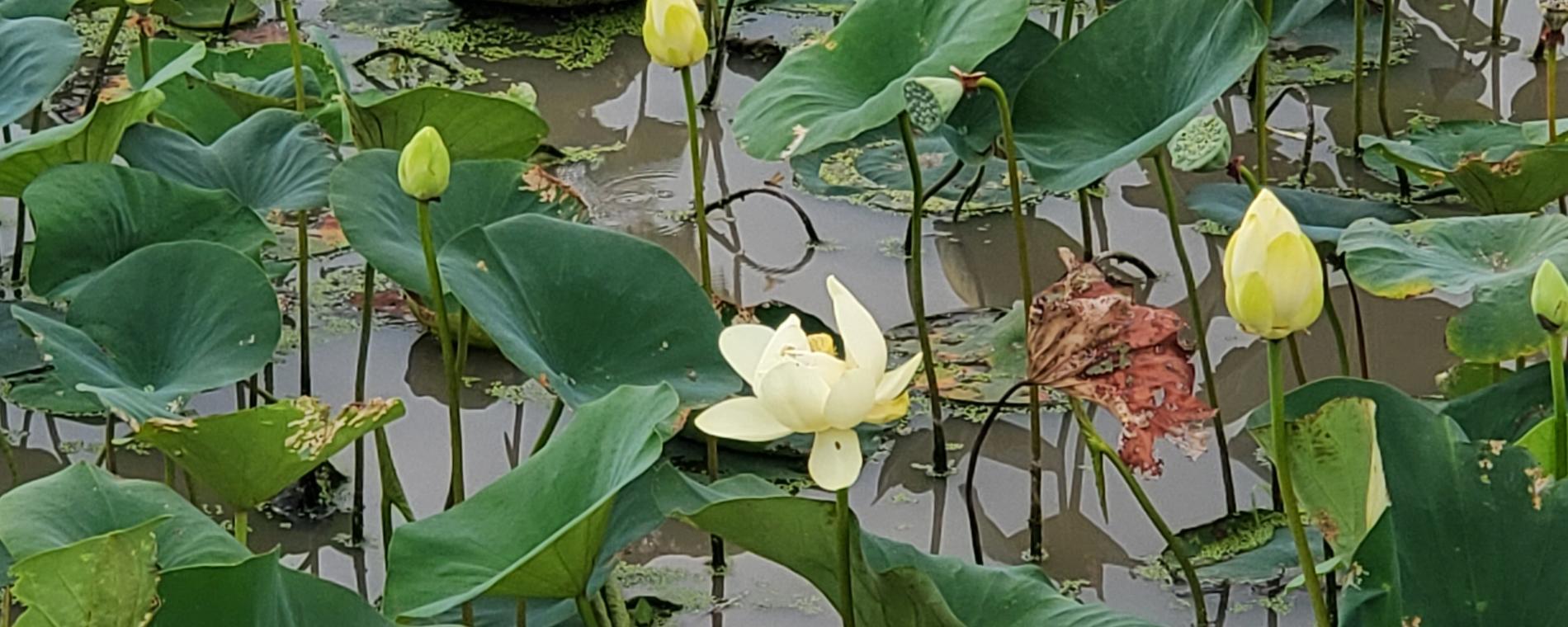 Pracht Wetlands Flower