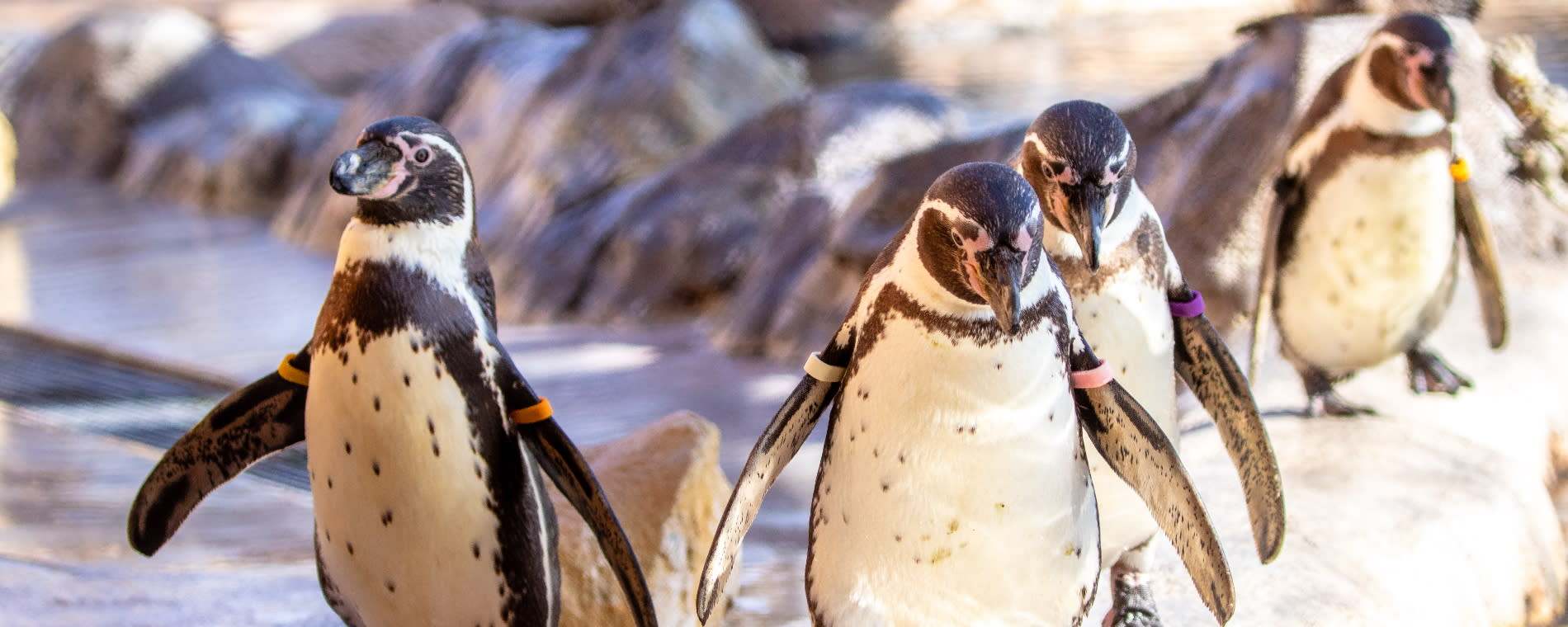 Sedgwick County Zoo Humboldt Penguin