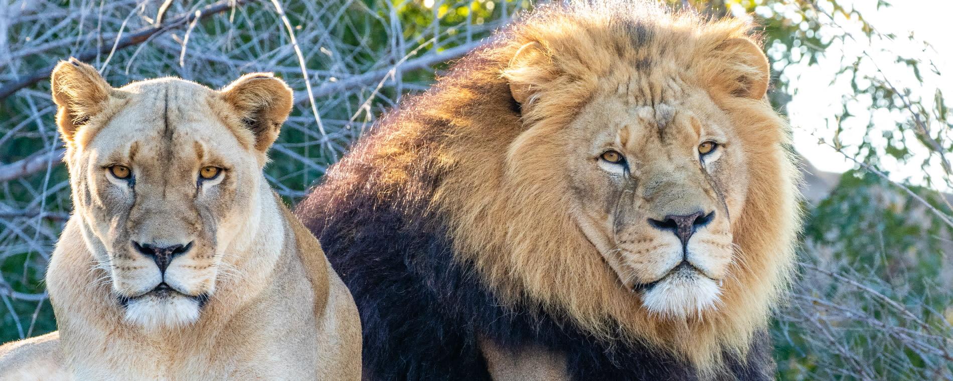 Sedgwick County Zoo Lions Kianga and Michael