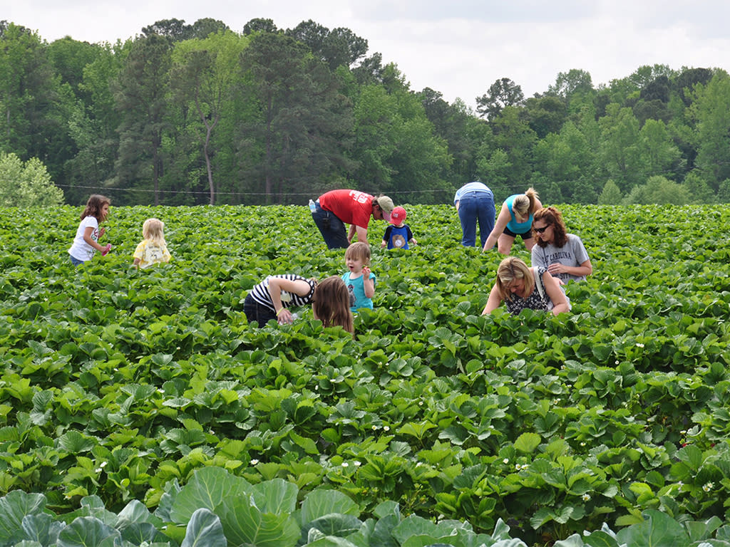 Families picking strawberries at Smith's Strawberry Farm near Benson, NC.