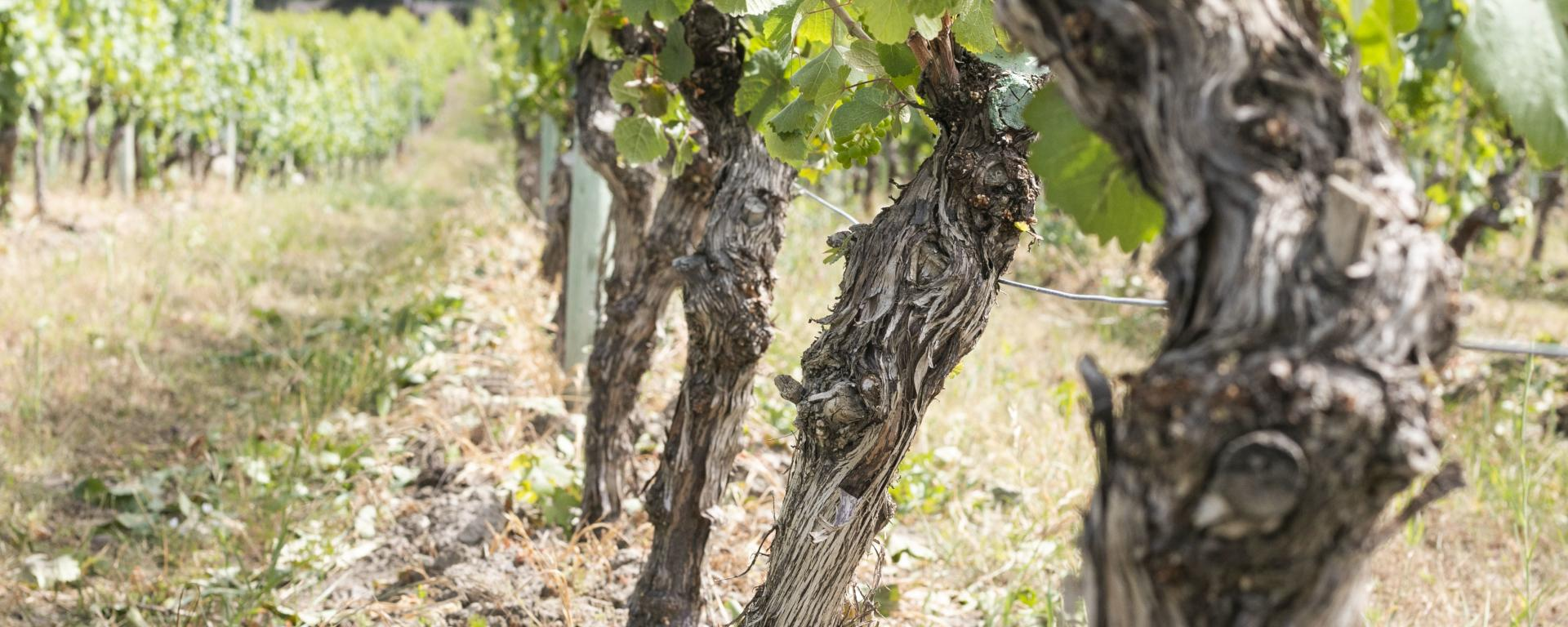 Old vines at CedarCreek Estate Winery