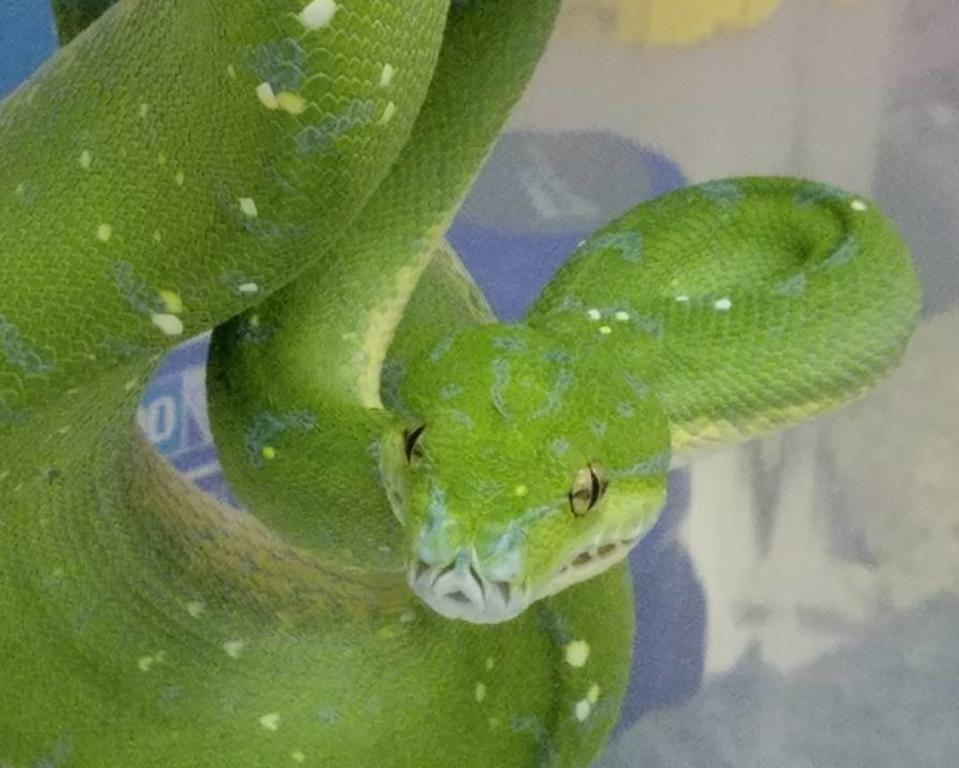 Green Python at Brandywine Zoo
