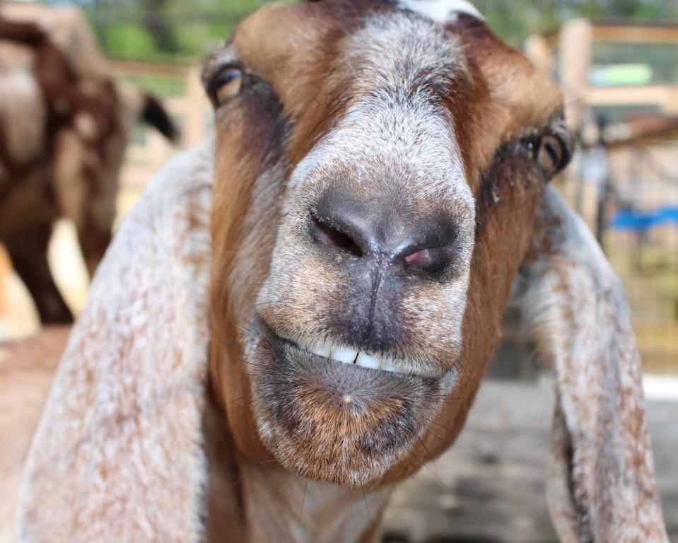 Nubian Goat at Brandywine Zoo