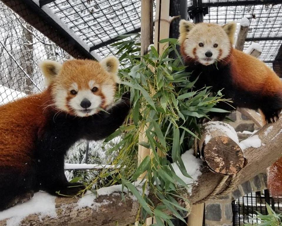Red Pandas at Brandywine Zoo