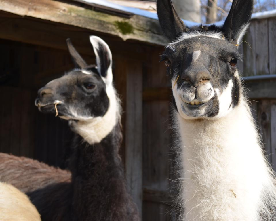 Llamas at Brandywine Zoo