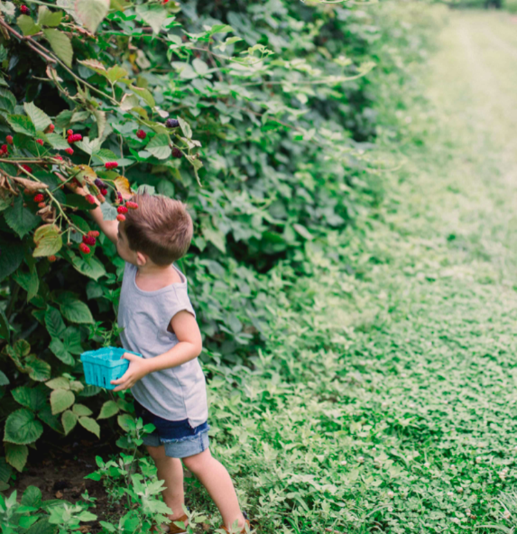 Young boy with little blue basket reaches up a tall bush to grab a berry