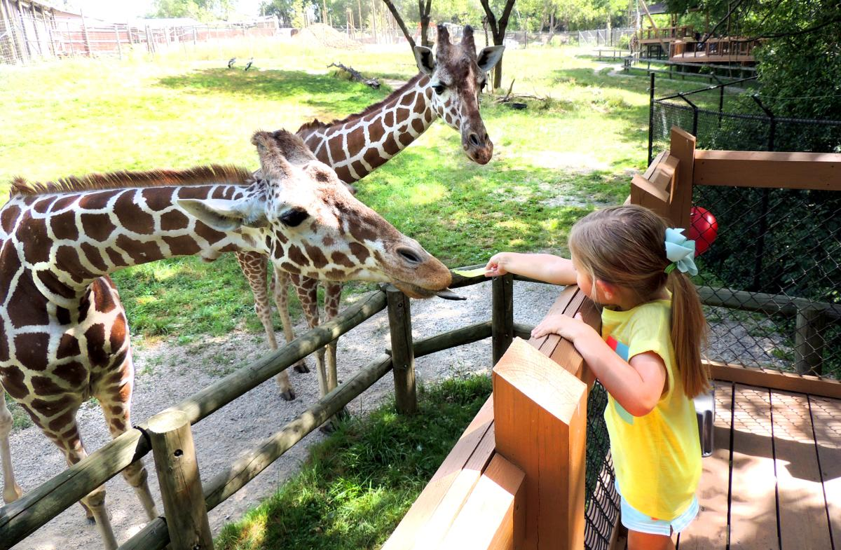 Blank Park Zoo Girl Feeding Giraffe