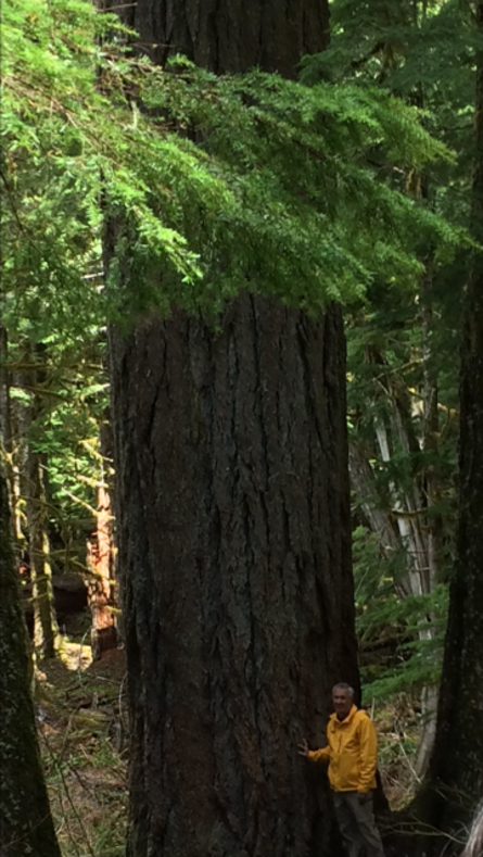 man in yellow jacket standing at base of giant cedar tree in forest
