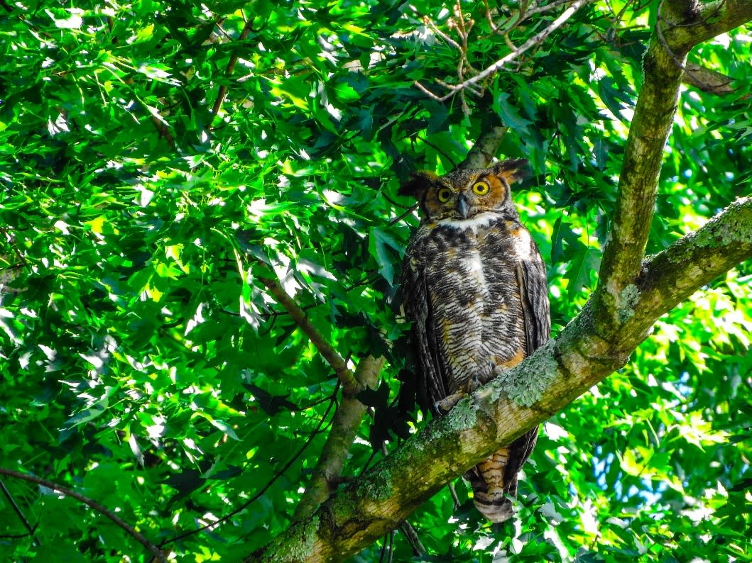 Great Horned Owl sitting on tree branch at Monocacy River Trail