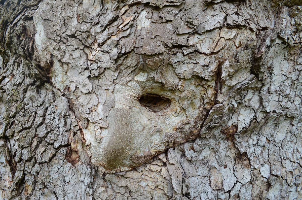 "The ""face"" in the Pawling Sycamore"