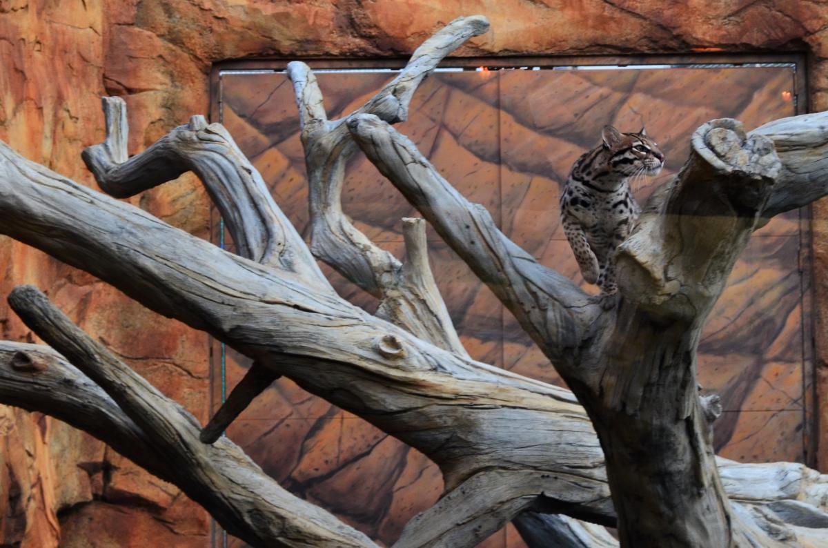 Elmwood Park Zoo Ocelot