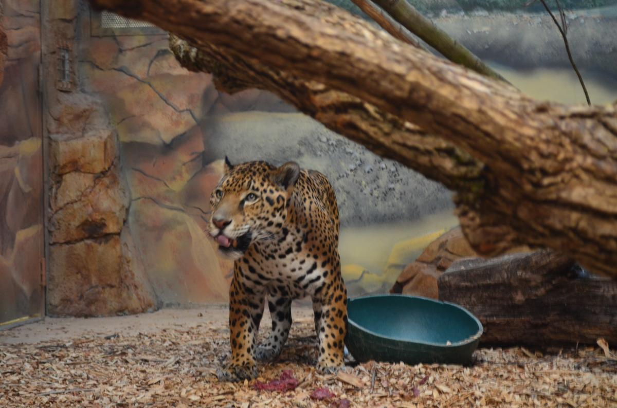 Elmwood Park Zoo Jaguar Cub