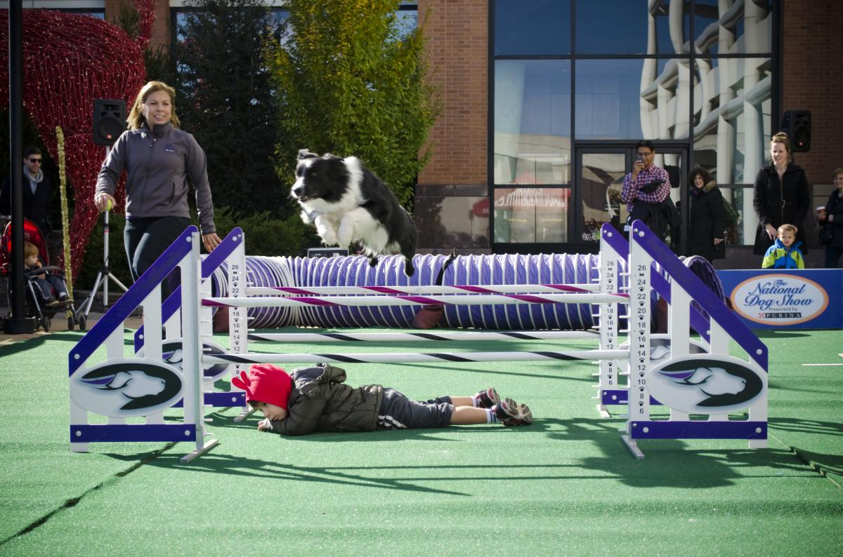 Agility Dogs showcase their skills at the National Dog Show