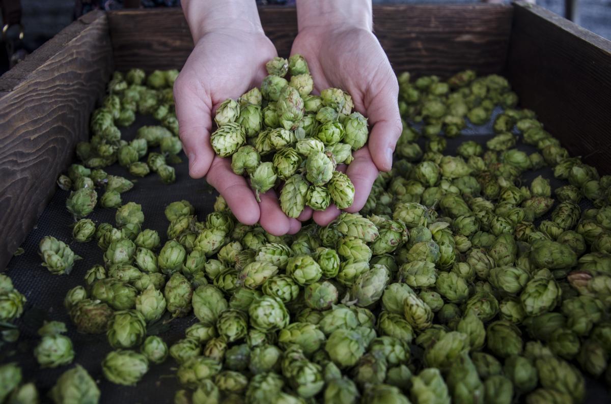Agrarian Ales Hop Harvest by Katie McGuigan