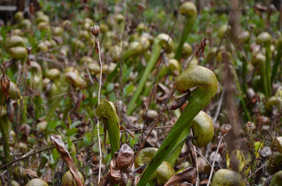 Darlingtonia Wayside by Katie McGuigan