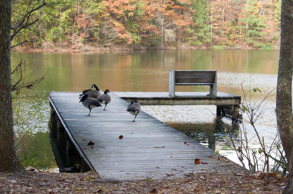 Branta-canadensis-Canadian-Goose-dock-fall-leaves-Green-Mountain-Madison-County-Nature-Trail-pond