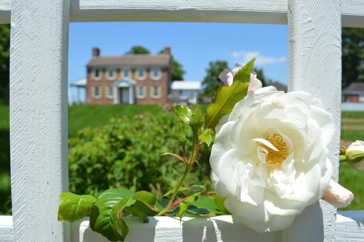 Ben Lomond Rose