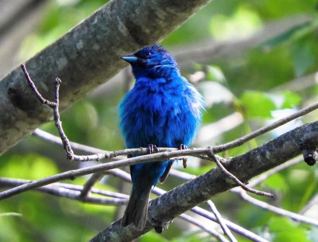 Indigo Bunting sitting on tree branch at Monocacy River Trail