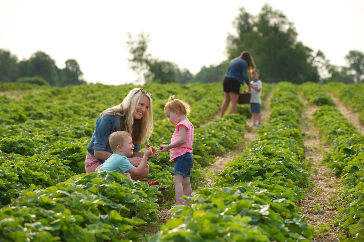 Family Berry Picking at Huber's Orchard & Winery