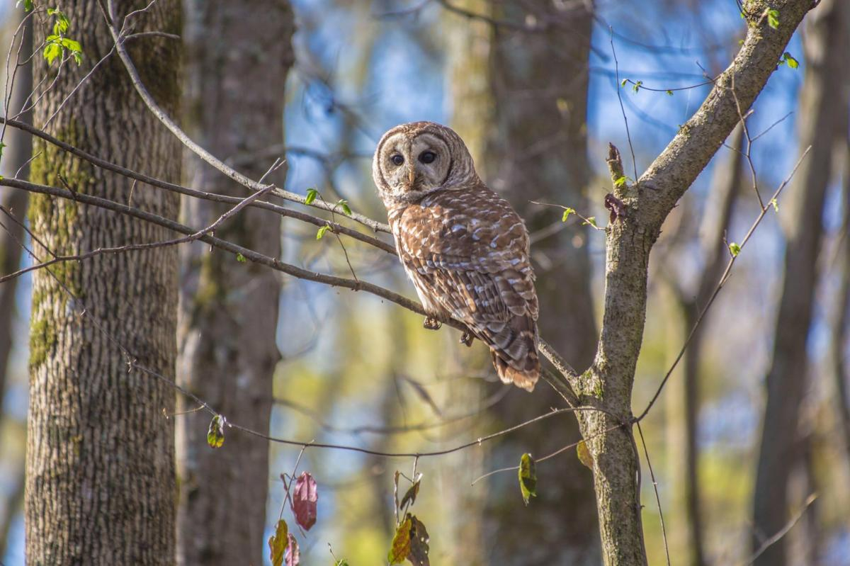 Hays Nature Preserve owl