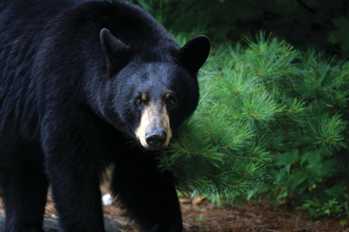 A Black Bear pauses while taking a stroll in the Smoky Mountains.