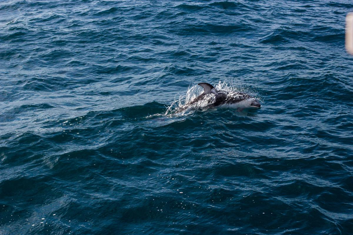 Pacific Whitesided Dolphins off Dana Point