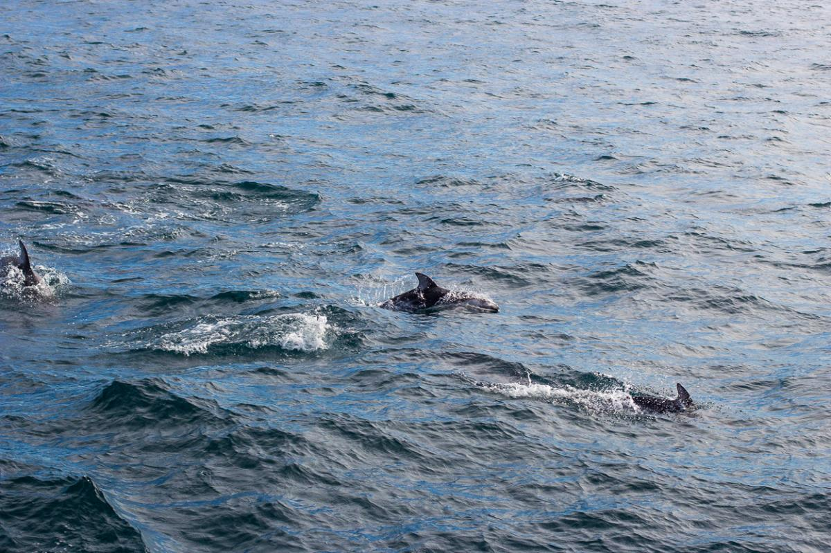 Pacific Whitesided Dolphins swimming off Dana Point