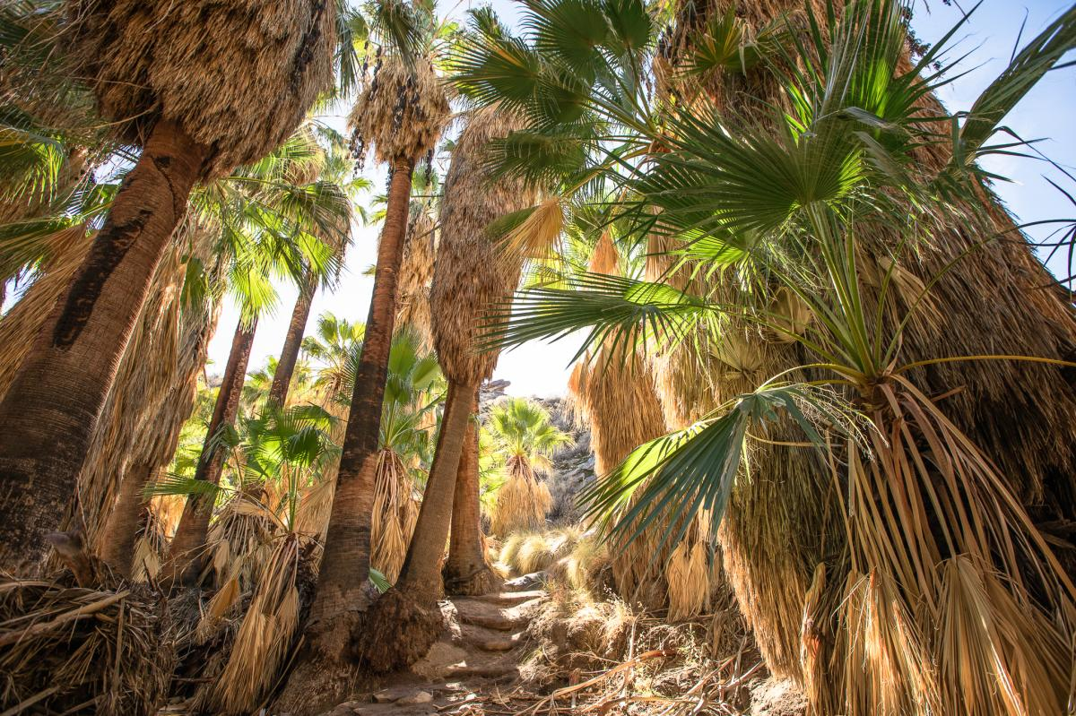 Palm trees along the Andreas Canyon Trail in Indian Canyons