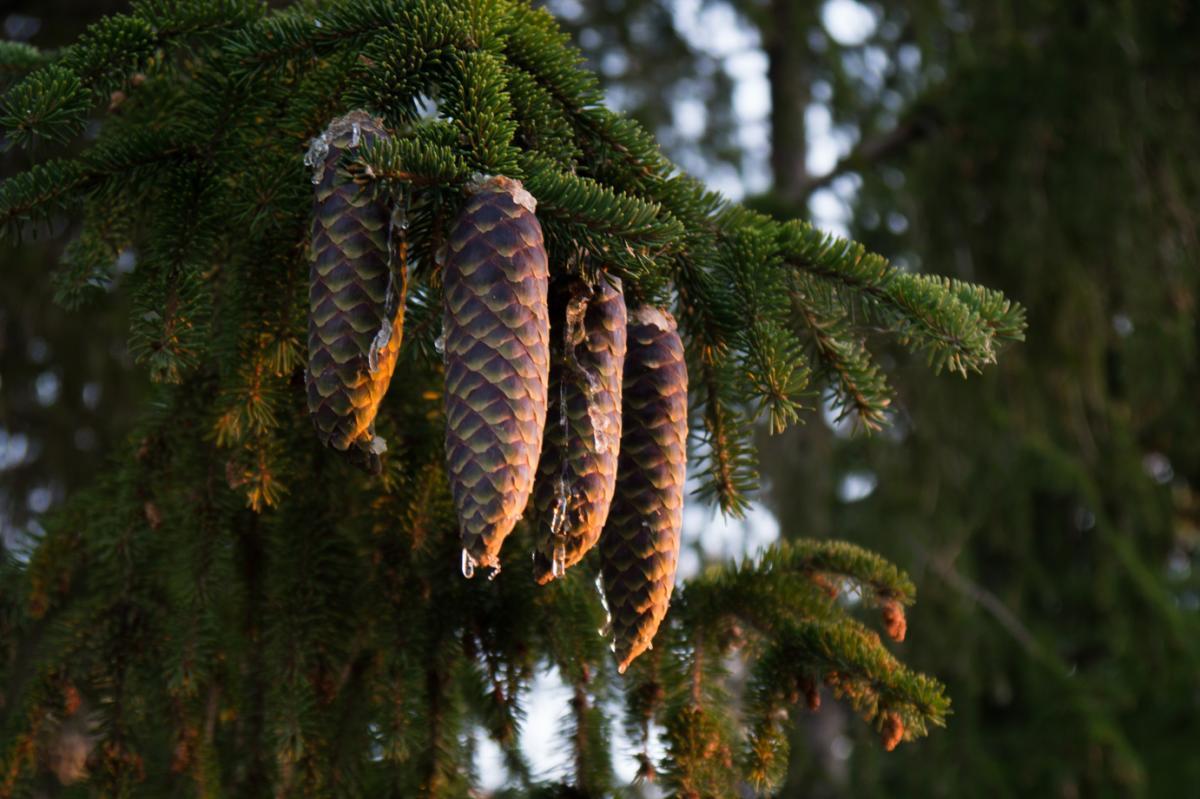 Norway Spruce Cones - Andy