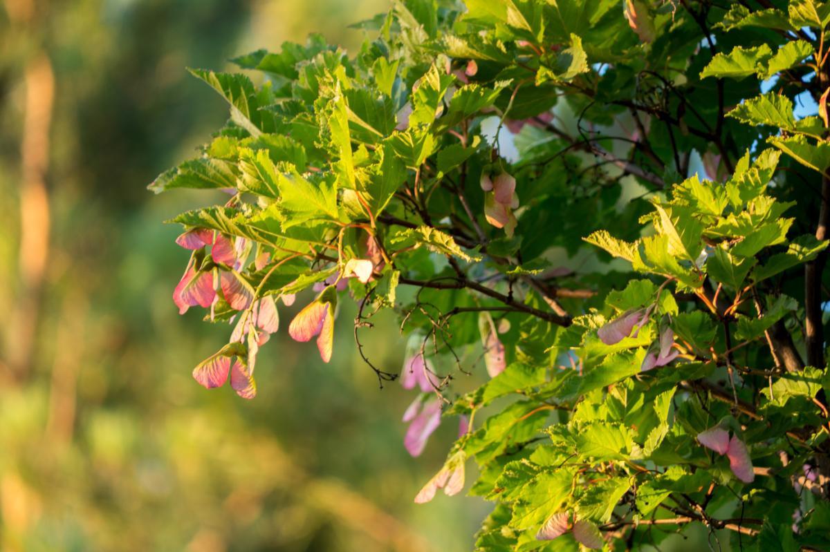 Amur Maple Fruits