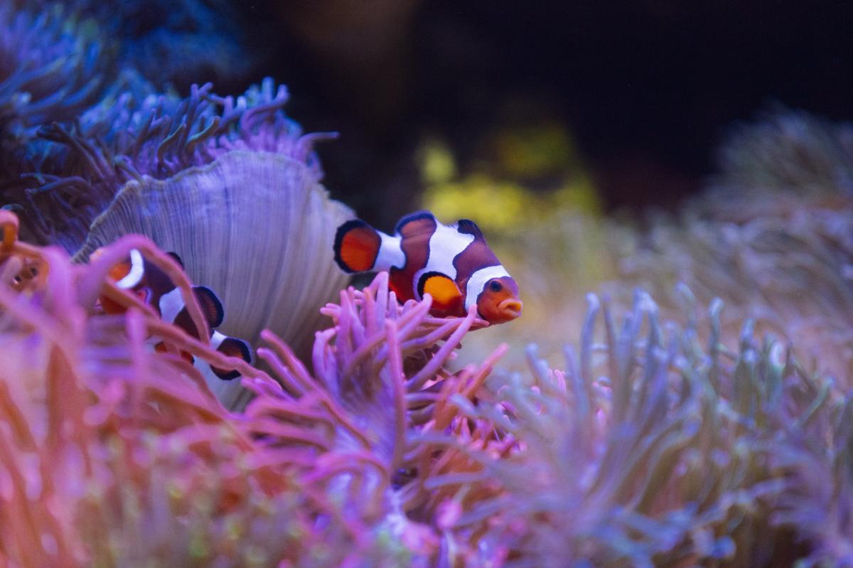 A clown fish swimming among anemones at The Florida Aquarium.
