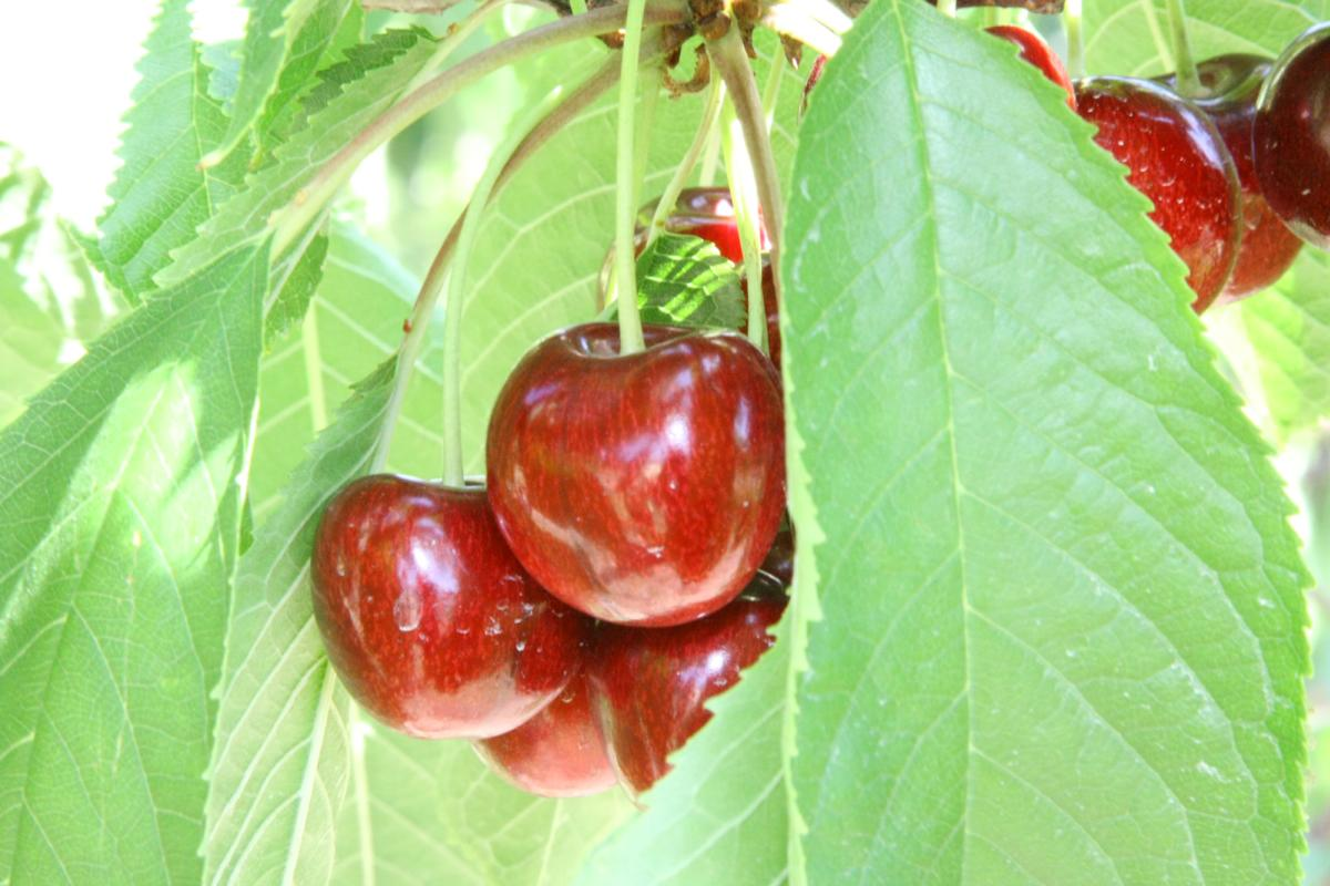 Fresh cherries from Suncity Cherries - Kelowna