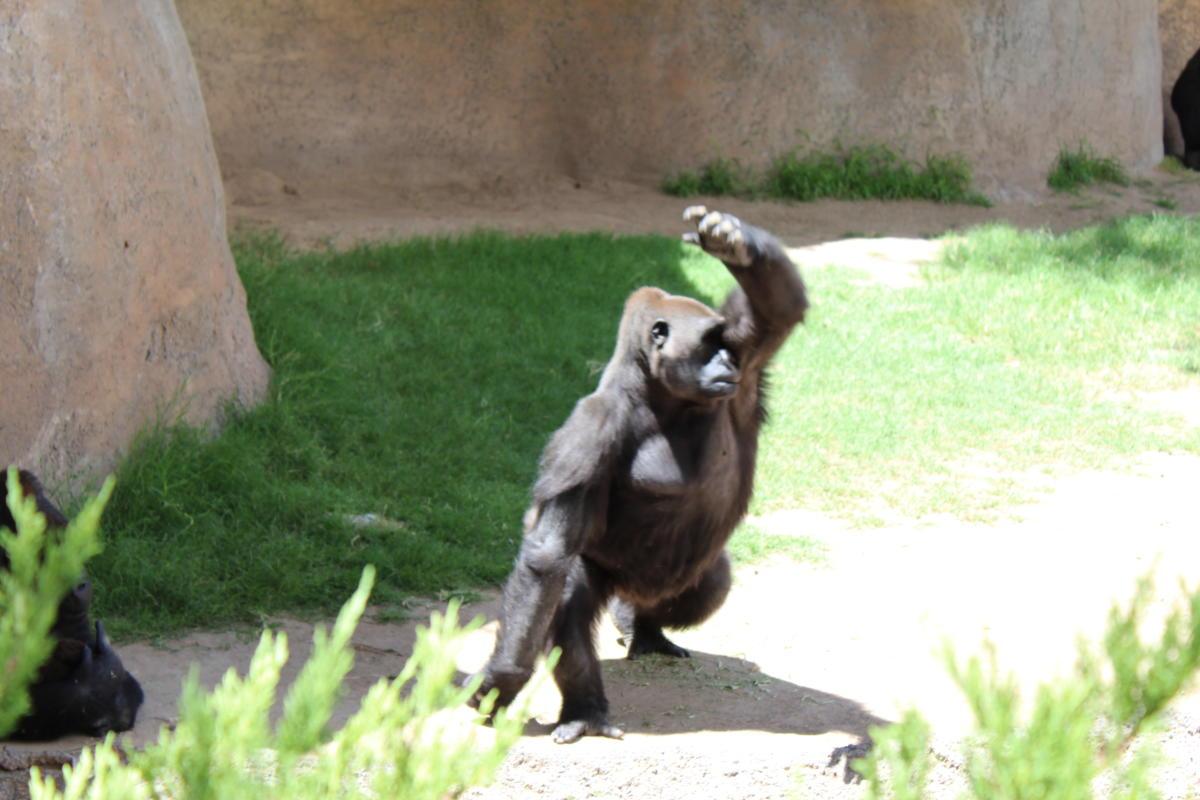 ABQ BioPark Gorillas
