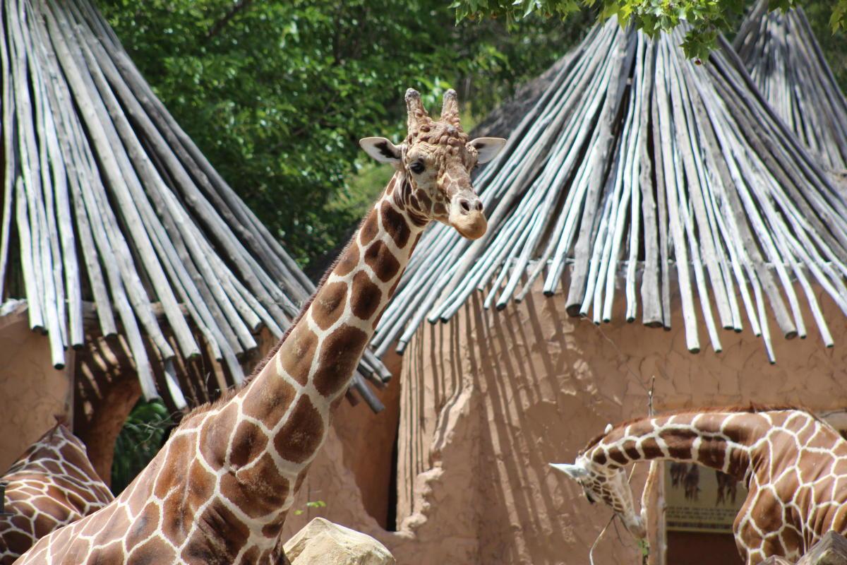 ABQ BioPark Giraffes