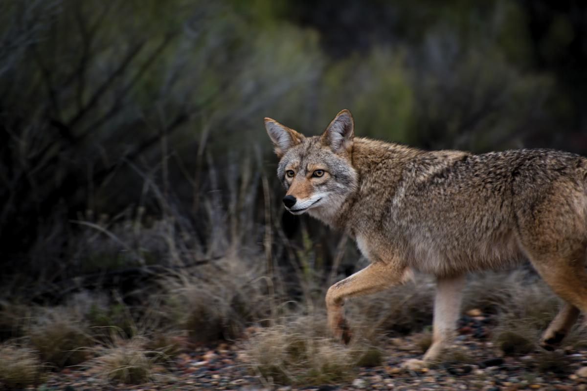With one backward glance, a coyote slinks away.