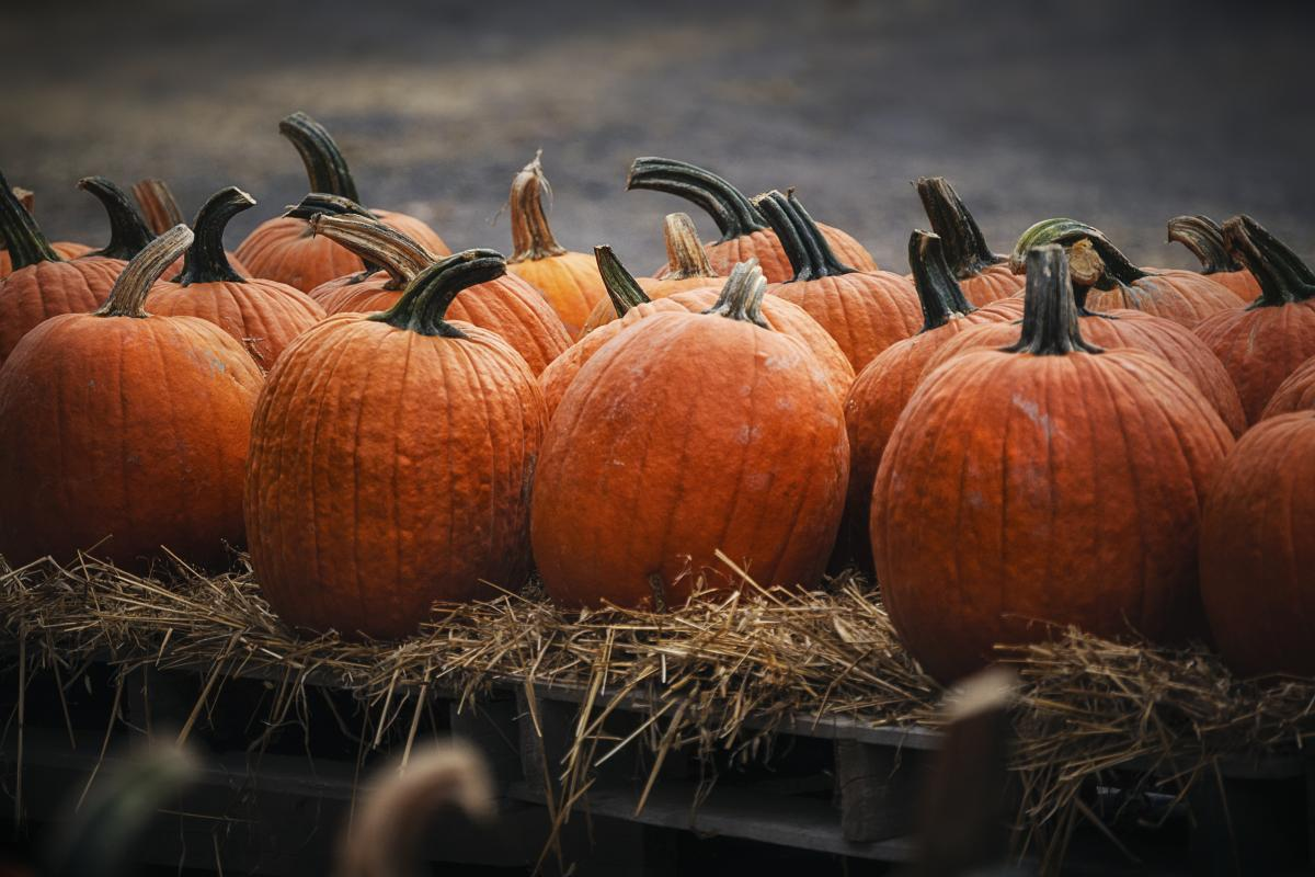Pumpkins at Styer Orchard