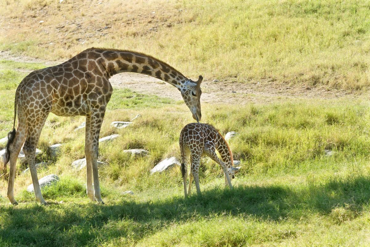 Two giraffes at the Living Desert.