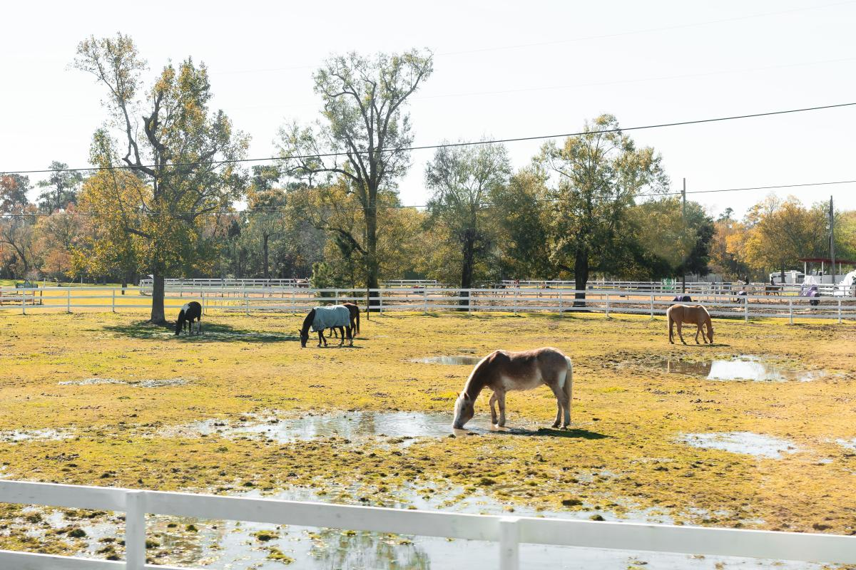 Horses Grazing at Tyrrell Park Stables