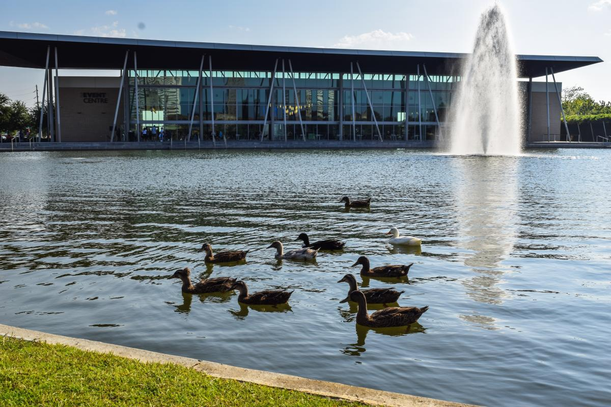 Ducks In The Pond In Front Of The Event Centre