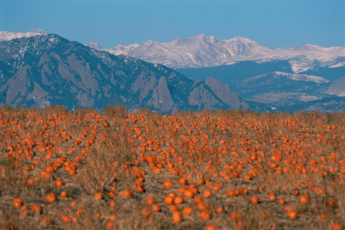 Pumpkins scattered along the ground at a Boulder Pumpkin Patch