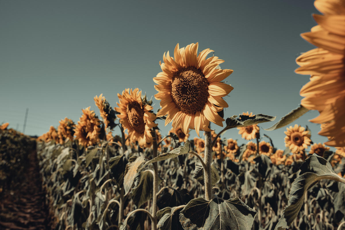 A field of sunflowers at Babbette's Seeds of Hope