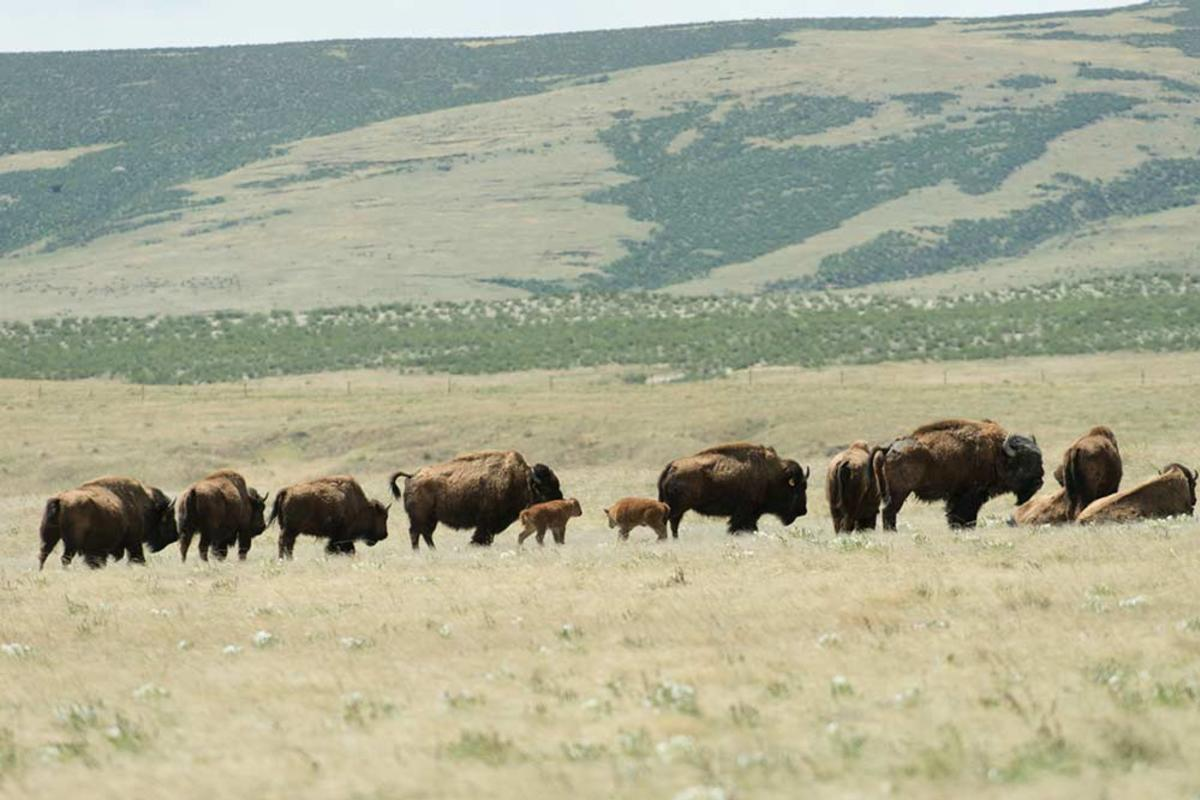 bison-herd-calves-May-2016-Credit-John-Eisele-Colorado-State-University-Photography