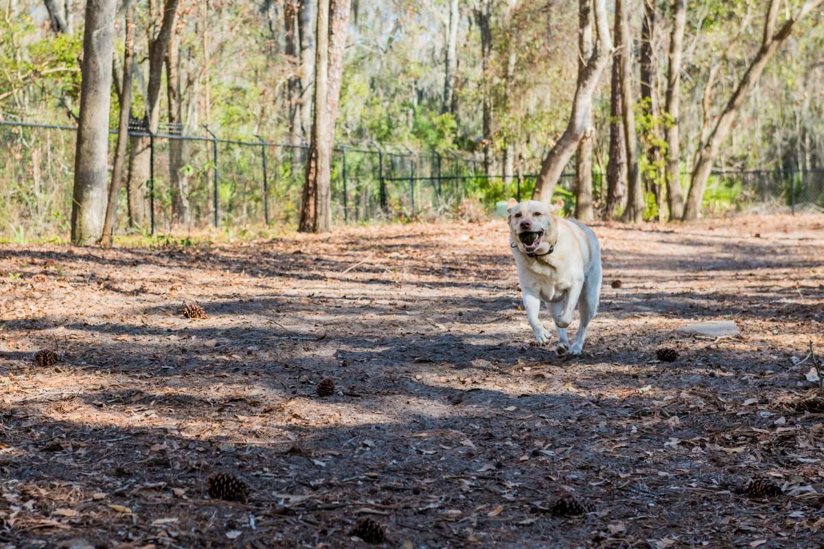 A Yellow Lab runs freely at the Frederica Dog Park.