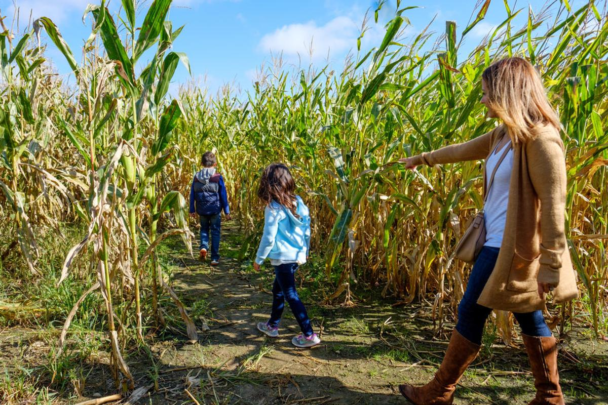 Corn Maze at Beasley's Orchard
