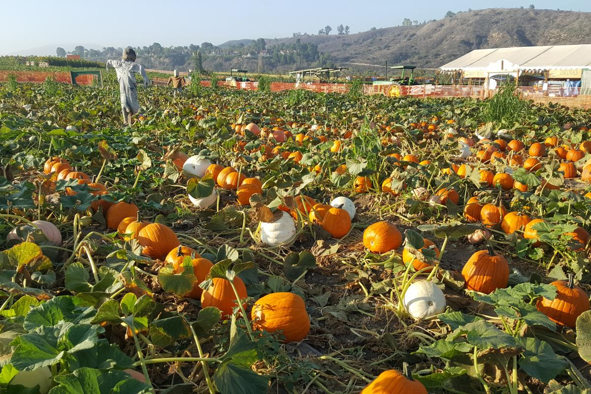Tanaka Farms - pumpkin patch
