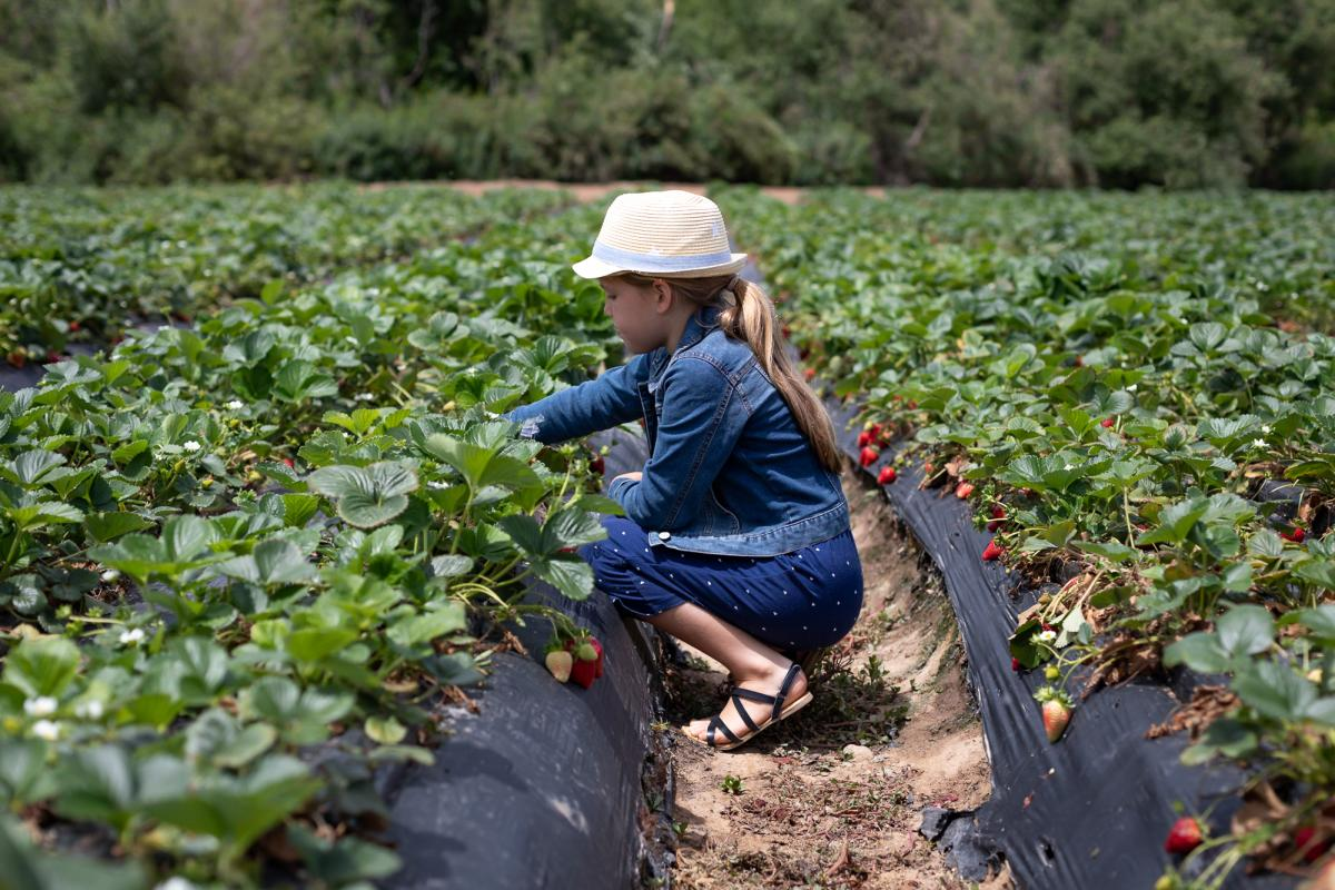 Girl in a sun hat picking strawberries in a field