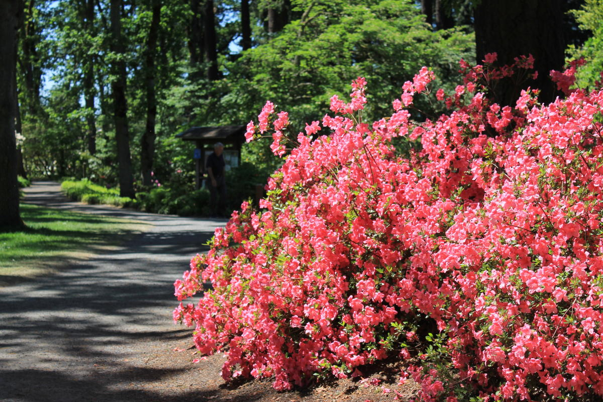 Hendricks Park Rhododendrons in Bloom by Stephen Hoshaw