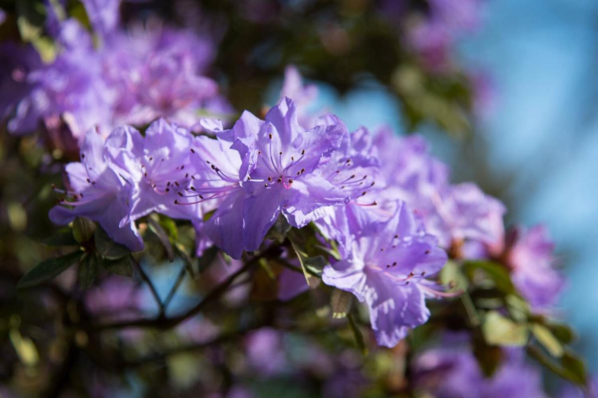 Rhododendrons at Hendricks Park by Thomas Moser