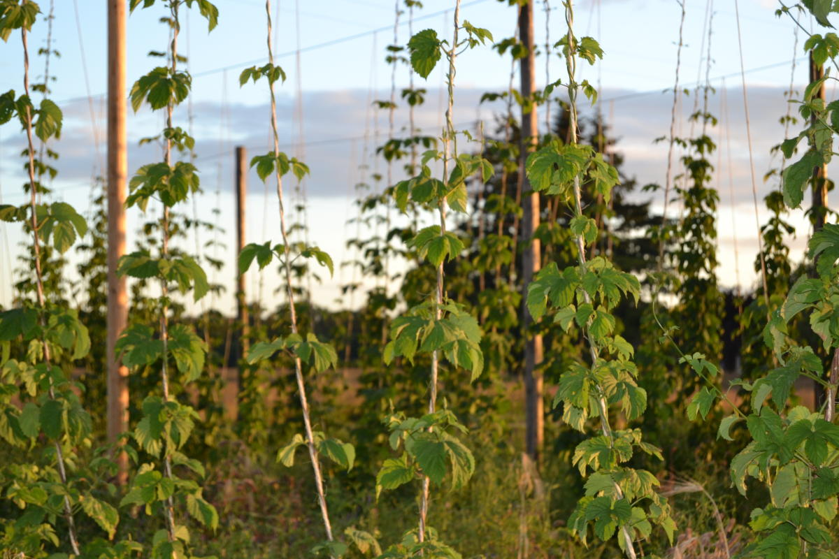 Hops at Agrarian Ales Brewery by Sally McAleer